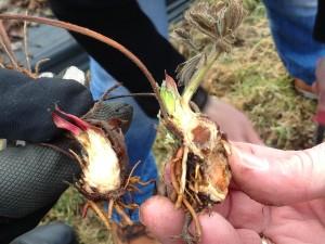 Terve ja pooleldi kahjustatud taim