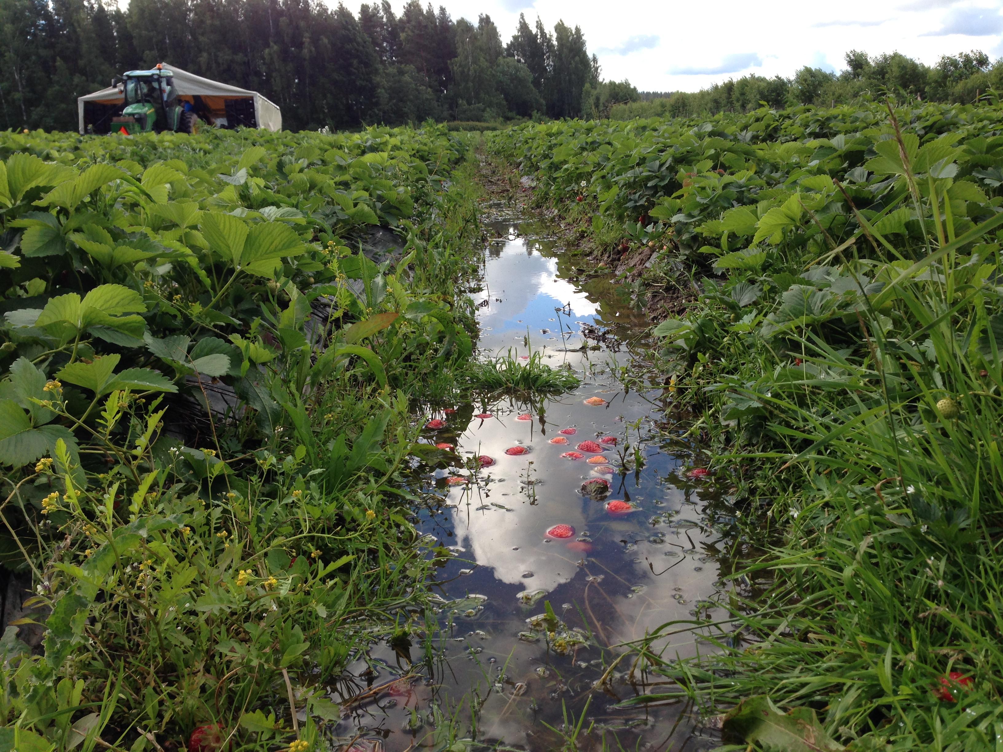 Sajud ei taha lõppeda ja väikeste vihmapauside ajal istandus ära ei kuiva